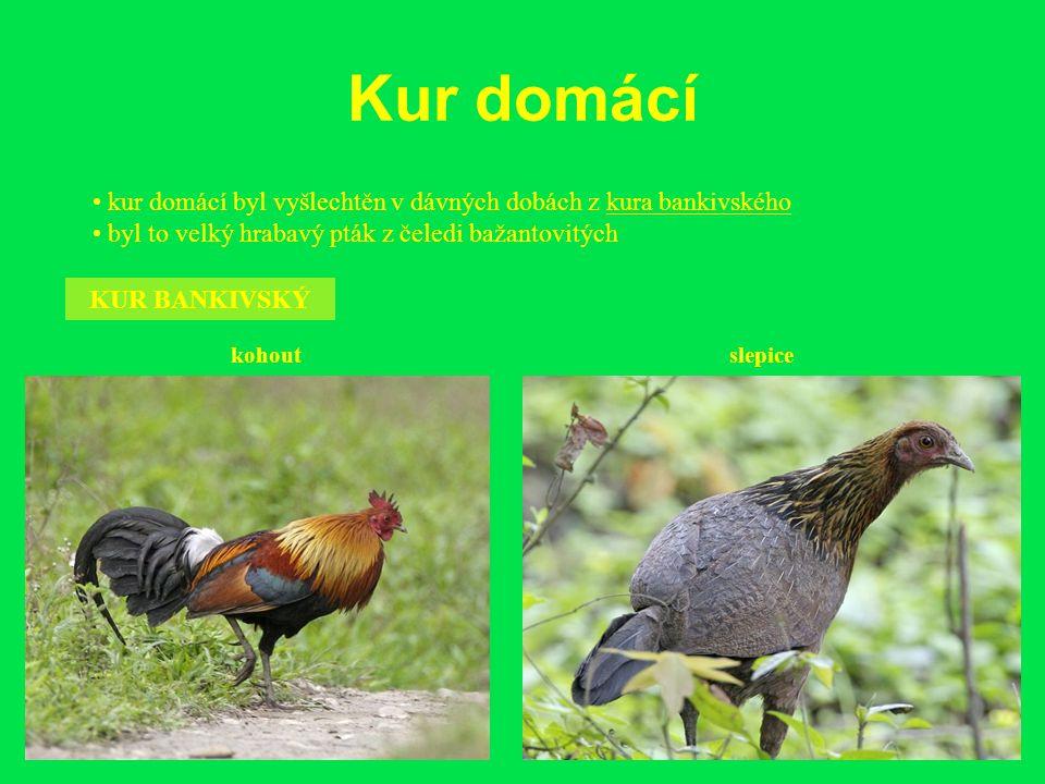 Kur domácí kur domácí byl vyšlechtěn v dávných dobách z kura bankivského byl to velký hrabavý pták z čeledi bažantovitých KUR BANKIVSKÝ kohoutslepice