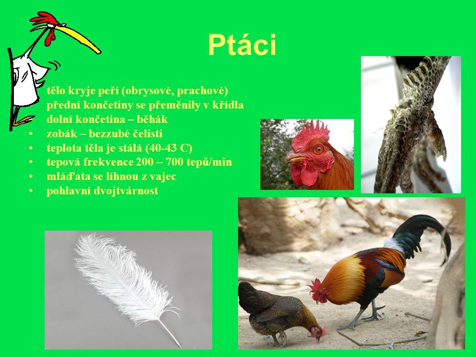 Ptáci tělo kryje peří (obrysové, prachové) přední končetiny se přeměnily v křídla dolní končetina – běhák zobák – bezzubé čelisti teplota těla je stál