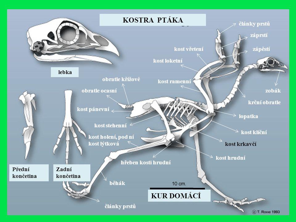 lebka KOSTRA PTÁKA zobák krční obratle KUR DOMÁCÍ obratle ocasní obratle křížové kost ramenní kost loketní kost vřetení lopatka kost klíční kost krkav