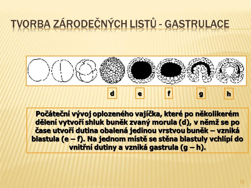 12 Počáteční vývoj oplozeného vajíčka, které po několikerém dělení vytvoří shluk buněk zvaný morula (d), v němž se po čase utvoří dutina obalená jedin