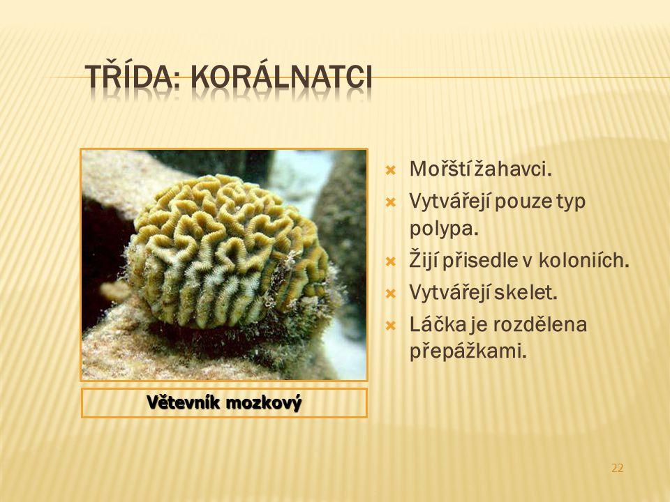  Mořští žahavci.  Vytvářejí pouze typ polypa.  Žijí přisedle v koloniích.  Vytvářejí skelet.  Láčka je rozdělena přepážkami. 22 Větevník mozkový