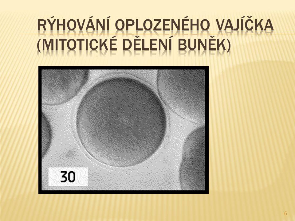  Rýhování vajíčka:  Vznik moruly  Typy rýhování:  Celkové – rovnoměrné (blastomery stejně velké)  Částečné – rýhuje se jen cytoplazma  Vznik blastuly  Tvorba zárodečných listů – gastrulace SOŠS a SOU KadaňZoologie - Vývoj mnohobuněčných živočichů 7