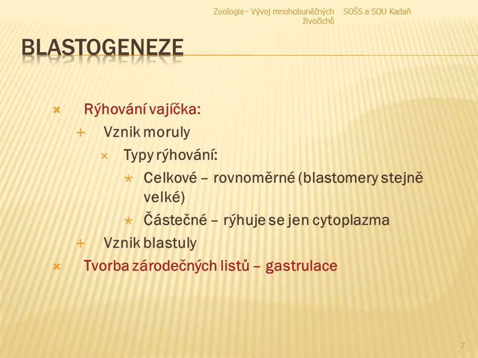 A – zygota  B – mitóza (2 nové buňky s 2n chromozómů)  C – mitóza (4 nové buňky)  D, E – morula  F – blastula 8