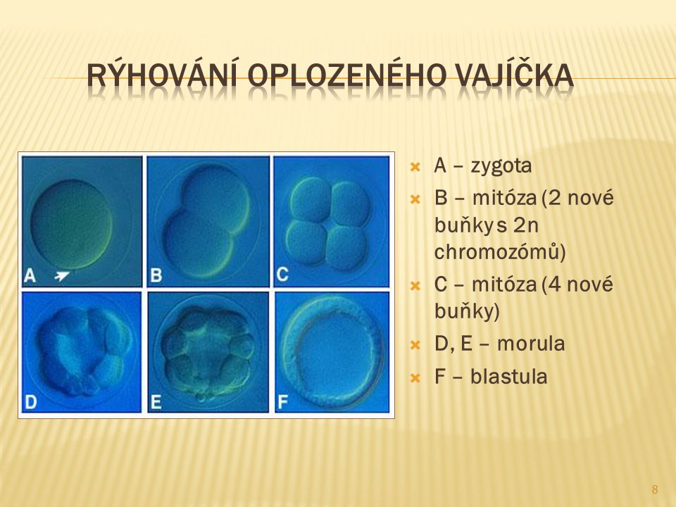  Zygota  Morula  Blastula  Gastrula 9 Vznik žahavce