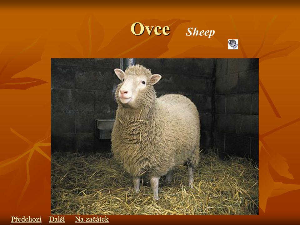 Ovce Sheep PředchozíDalšíNa začátek