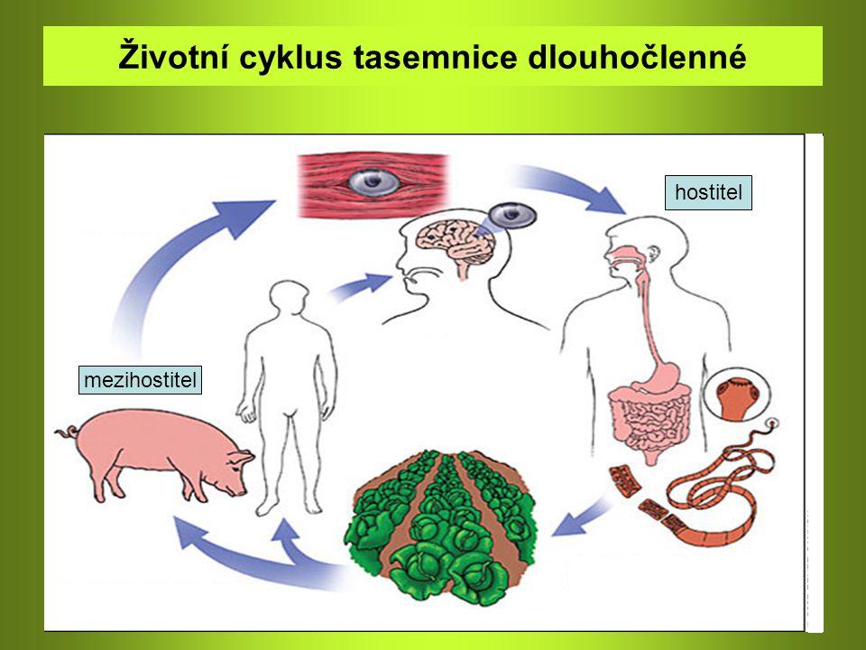 Třída: Tasemnice – parazité Škulovec široký ve vodě se z vajíček líhnou larvy 1.