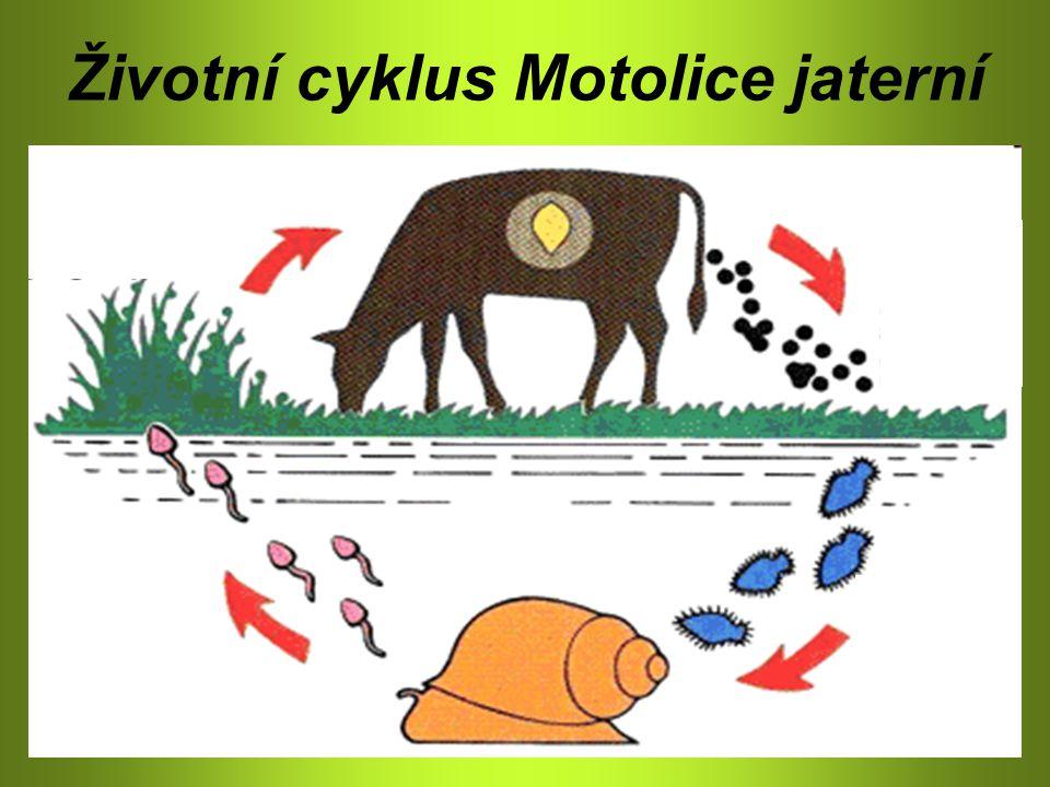 Třída: Motolice – parazité Motolice kopinatá Definitivní hostitel 1.