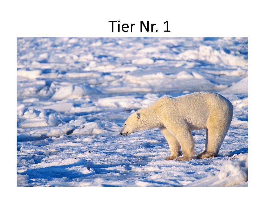 Tier Nr. 1 Lebensraum: Packeis der Arktis Aussehen: 2 m groß, 400 – 600 Kilo schwer, Pelz: weiß und dick Nahrung: Robben, Wale, Fische, Seevögel Beson