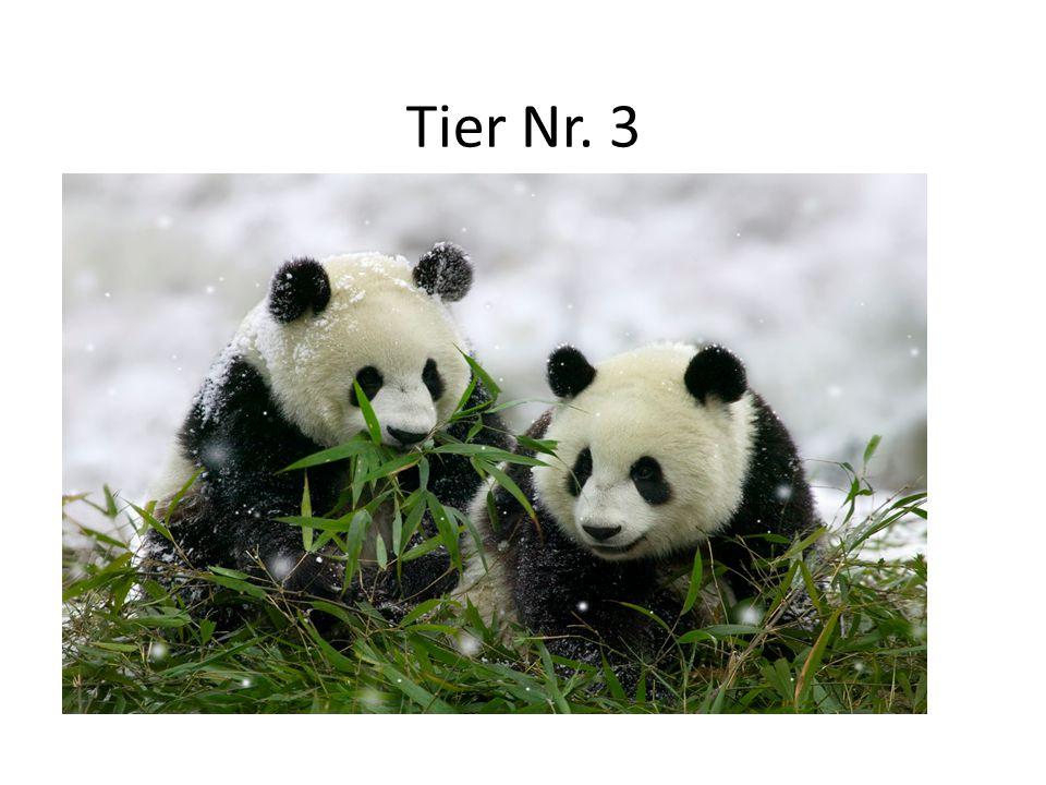 Tier Nr. 3 Lebensraum: Bergwälder Chinas Aussehen: 85 – 125 Kilo schwer, Kopf: weiß, Körper: schwarz, sehr niedlich Nahrung: Bambusblätter Besonderhei