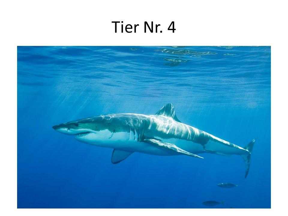 Tier Nr. 4 Lebensraum: alle Weltmeere, meistens tropische Aussehen: bis 12 m lang, Farbe: grau, Zähne: sehr scharf Nahrung: Fische, Seevögel, Robben,