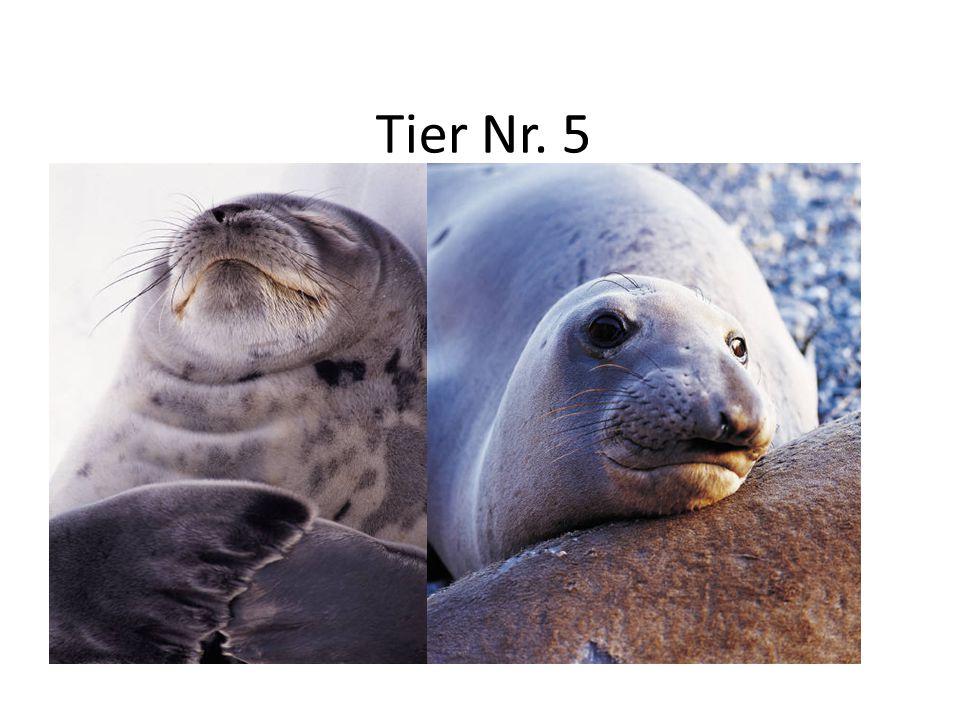 """Tier Nr. 5 Lebensraum: Küstengewässer, Sandbänke, Felsen, Eis Aussehen: 150 – 185 cm lang, 55 – 170 Kilo schwer, Augen: rund, schwarz, feuchte """"Stupfn"""