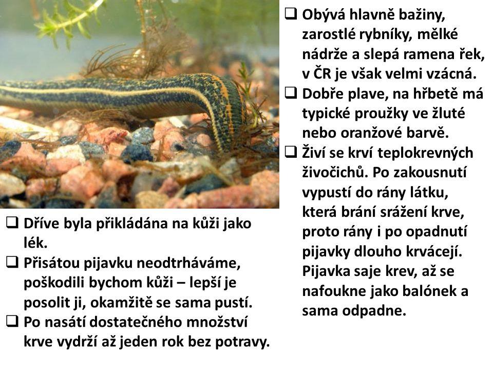  Obývá hlavně bažiny, zarostlé rybníky, mělké nádrže a slepá ramena řek, v ČR je však velmi vzácná.  Dobře plave, na hřbetě má typické proužky ve žl