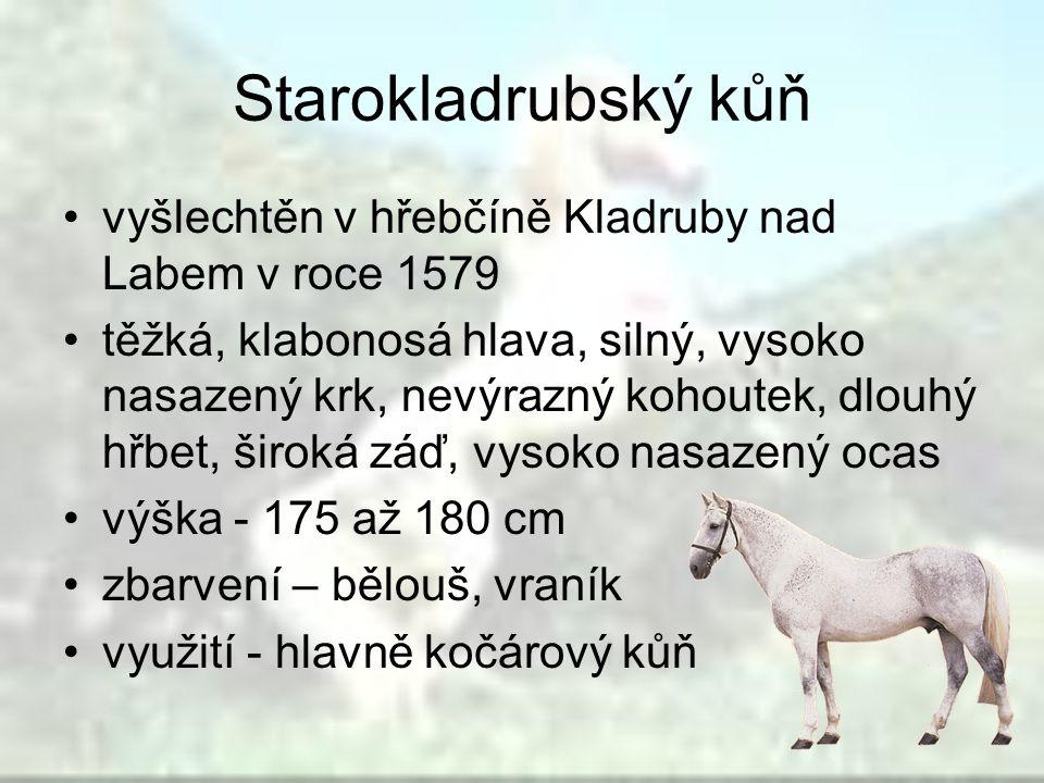 Starokladrubský kůň vyšlechtěn v hřebčíně Kladruby nad Labem v roce 1579 těžká, klabonosá hlava, silný, vysoko nasazený krk, nevýrazný kohoutek, dlouh