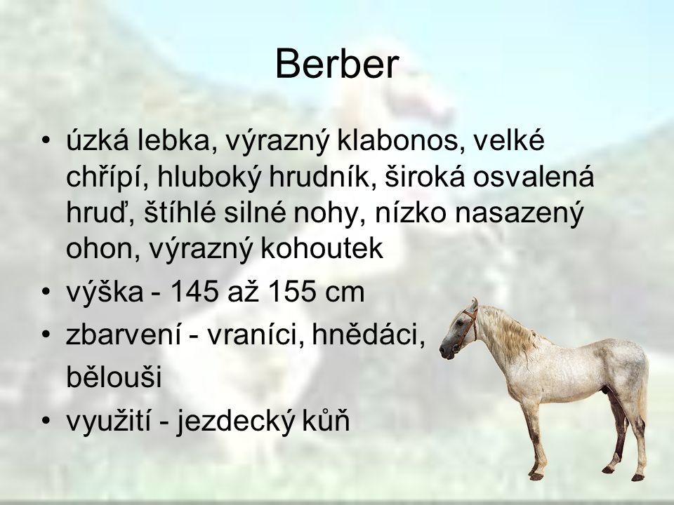 Berber úzká lebka, výrazný klabonos, velké chřípí, hluboký hrudník, široká osvalená hruď, štíhlé silné nohy, nízko nasazený ohon, výrazný kohoutek výš