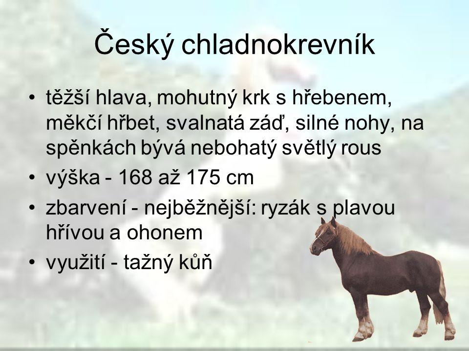 Český chladnokrevník těžší hlava, mohutný krk s hřebenem, měkčí hřbet, svalnatá záď, silné nohy, na spěnkách bývá nebohatý světlý rous výška - 168 až