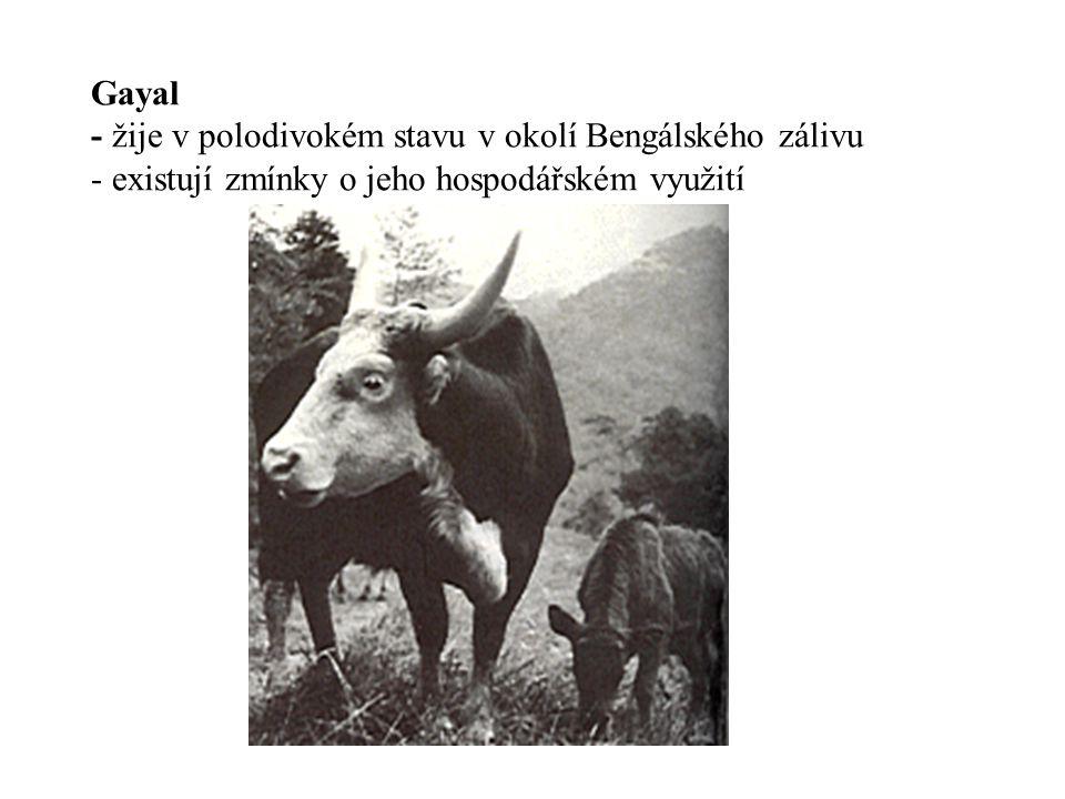 Gayal - žije v polodivokém stavu v okolí Bengálského zálivu - existují zmínky o jeho hospodářském využití