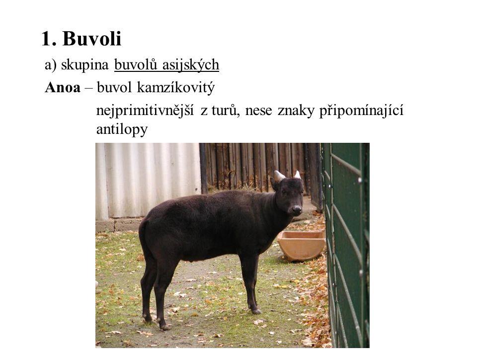 1. Buvoli a) skupina buvolů asijských Anoa – buvol kamzíkovitý nejprimitivnější z turů, nese znaky připomínající antilopy