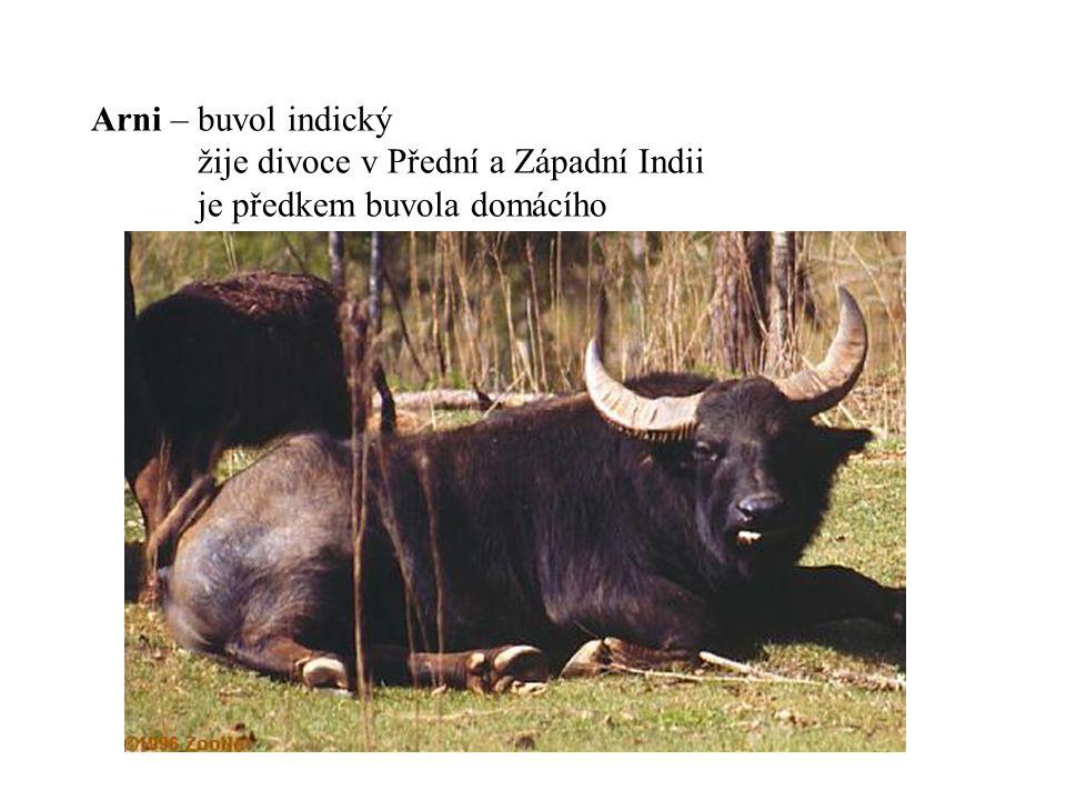Arni – buvol indický žije divoce v Přední a Západní Indii je předkem buvola domácího