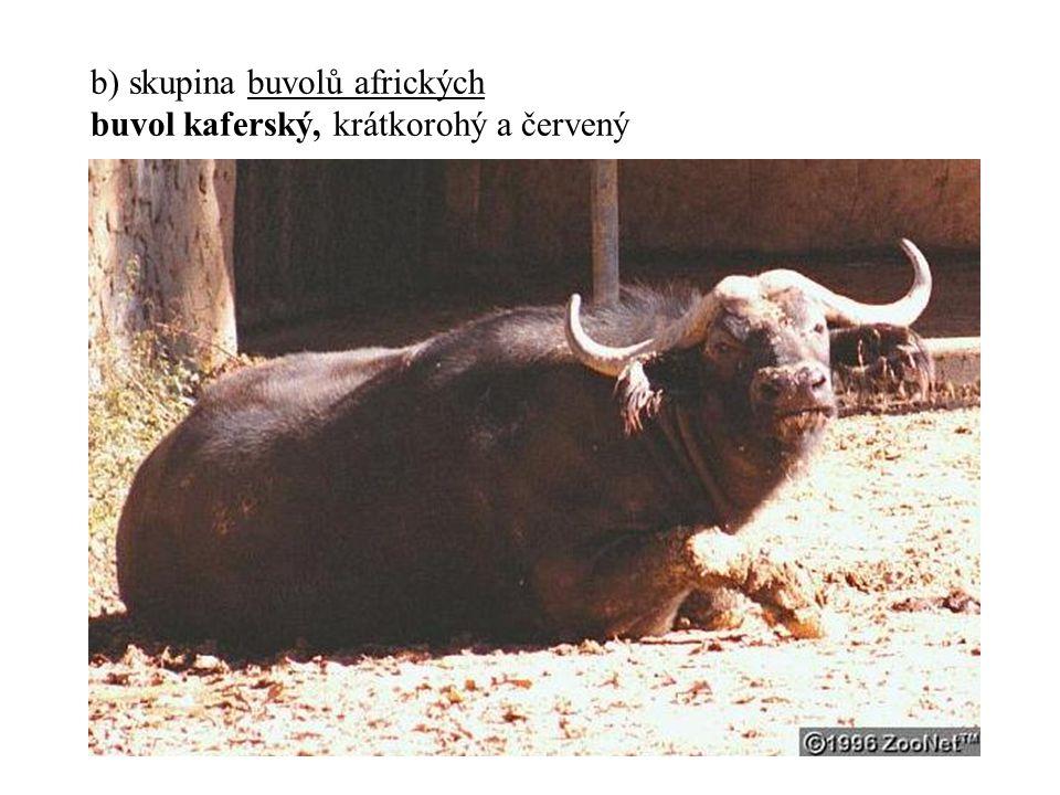 b) skupina buvolů afrických buvol kaferský, krátkorohý a červený