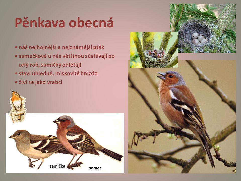 Pěnkava obecná náš nejhojnější a nejznámější pták samečkové u nás většinou zůstávají po celý rok, samičky odlétají staví úhledné, miskovité hnízdo živ