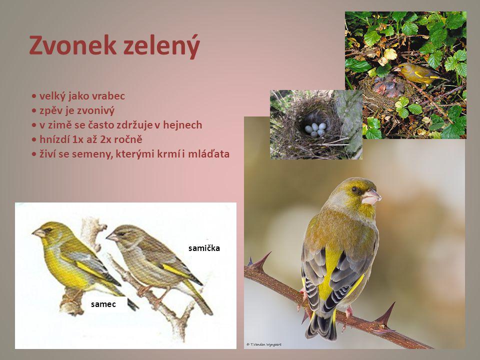 Zvonek zelený samička samec velký jako vrabec zpěv je zvonivý v zimě se často zdržuje v hejnech hnízdí 1x až 2x ročně živí se semeny, kterými krmí i m