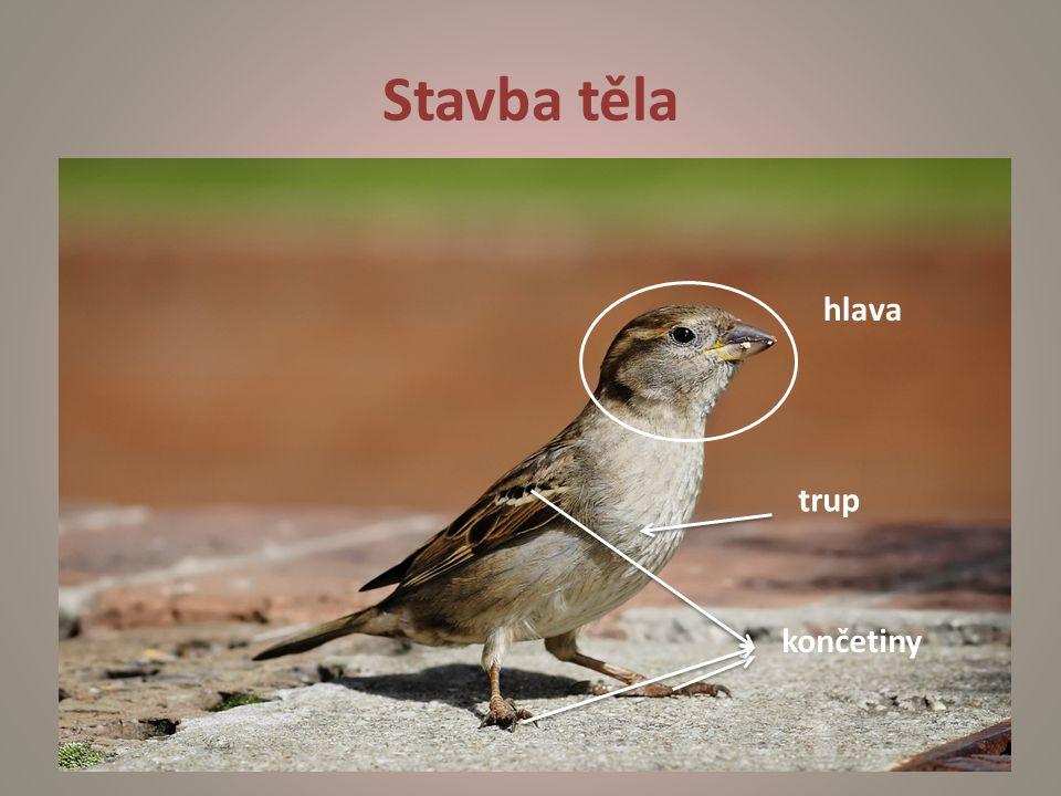 Pěvci semenožraví zrnožraví - krátký, silný, kuželovitý zobák