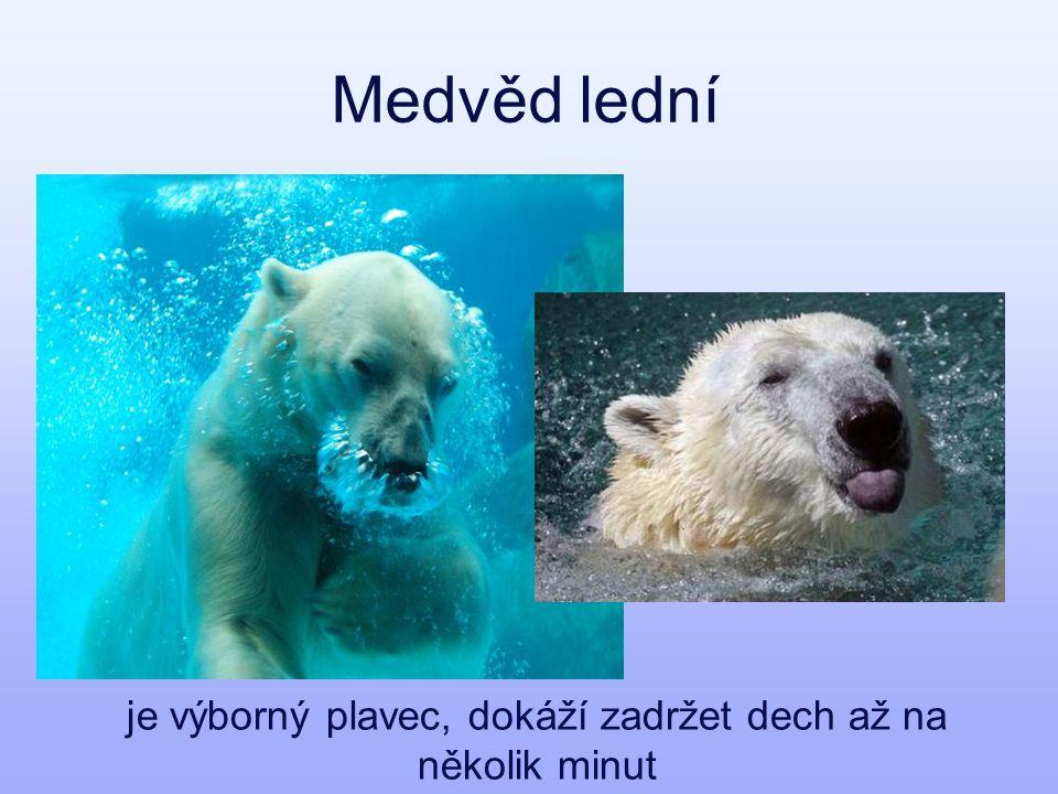 Medvěd lední je výborný plavec, dokáží zadržet dech až na několik minut