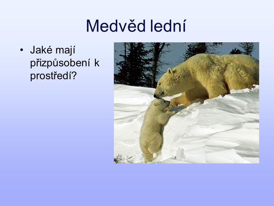 Medvěd lední Jaké mají přizpůsobení k prostředí?