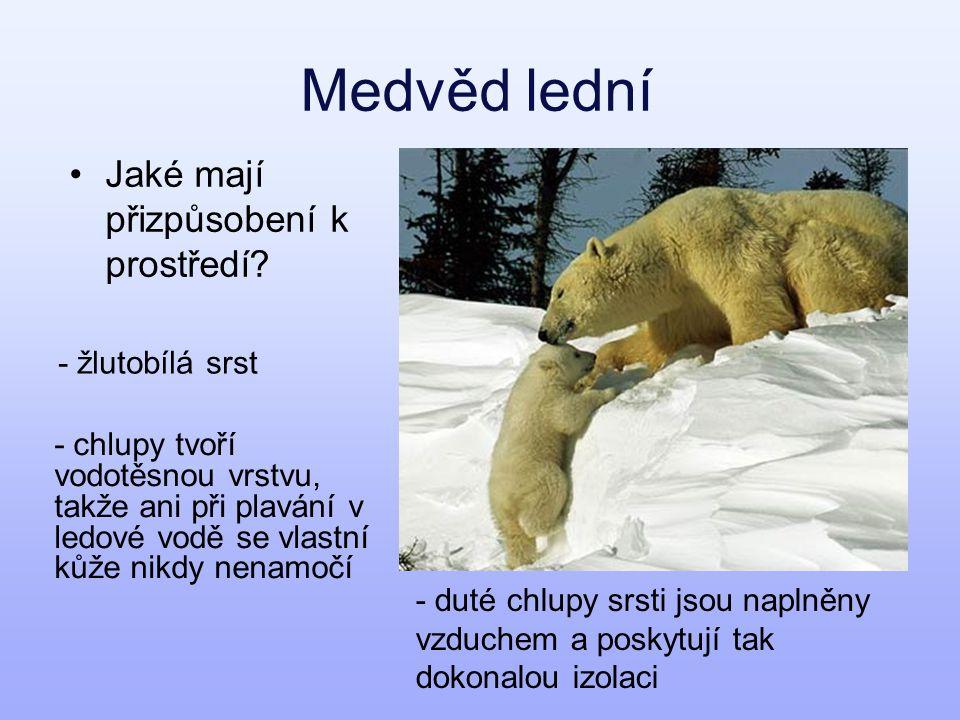 Medvěd lední Jaké mají přizpůsobení k prostředí? - žlutobílá srst - duté chlupy srsti jsou naplněny vzduchem a poskytují tak dokonalou izolaci - chlup