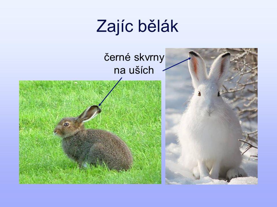 Liška polární zimní a letní srst