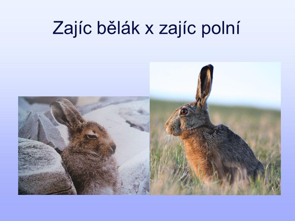 zajíc bělák zajíc polní délka uší