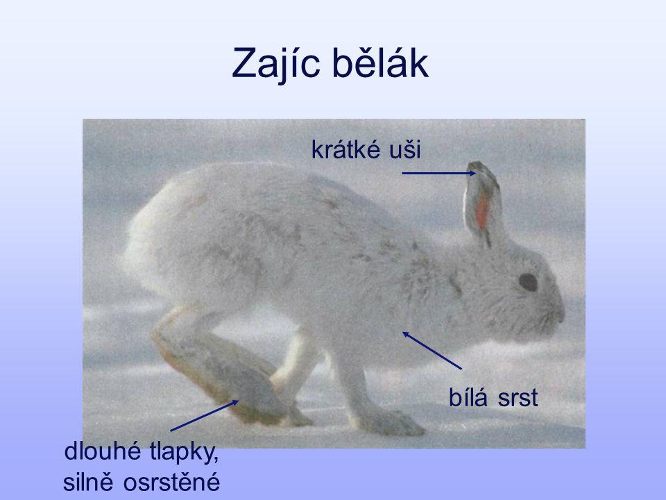 Zajíc bělák bílá srst krátké uši dlouhé tlapky, silně osrstěné