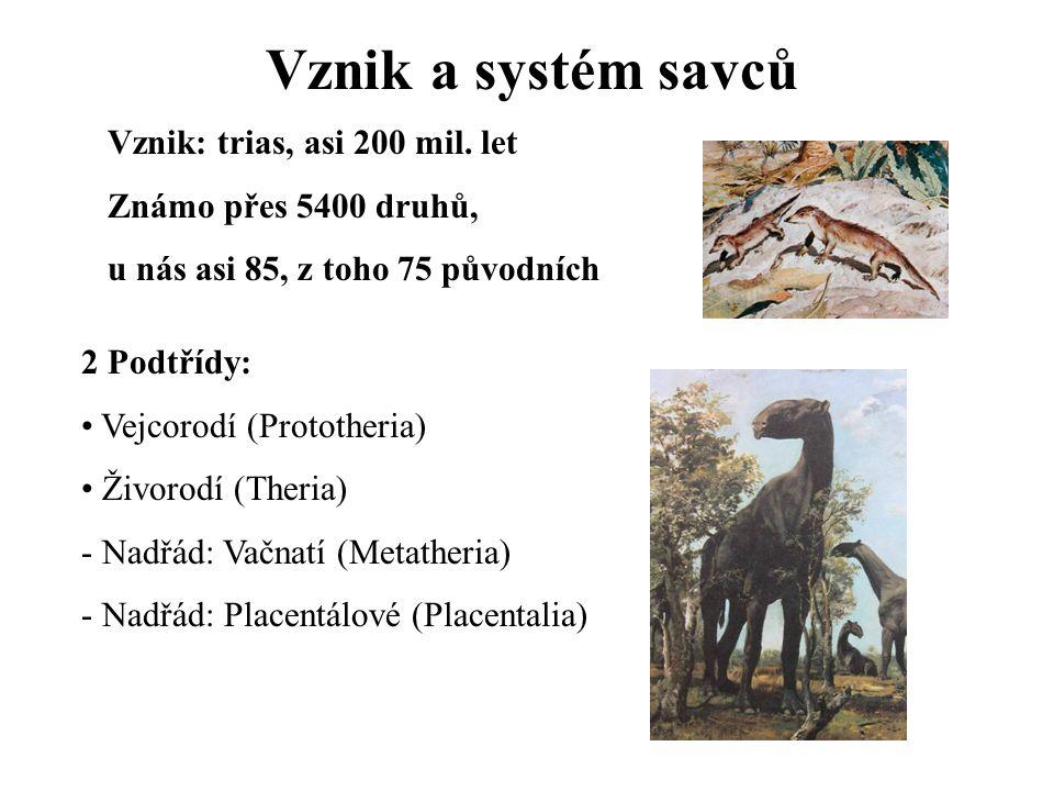 Vznik a systém savců Vznik: trias, asi 200 mil. let Známo přes 5400 druhů, u nás asi 85, z toho 75 původních 2 Podtřídy: Vejcorodí (Prototheria) Živor