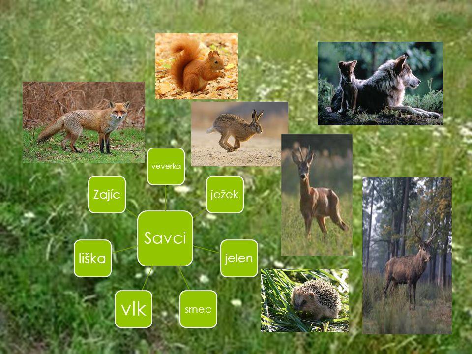 Savci veverka ježek jelen srnec vlk liška Zajíc