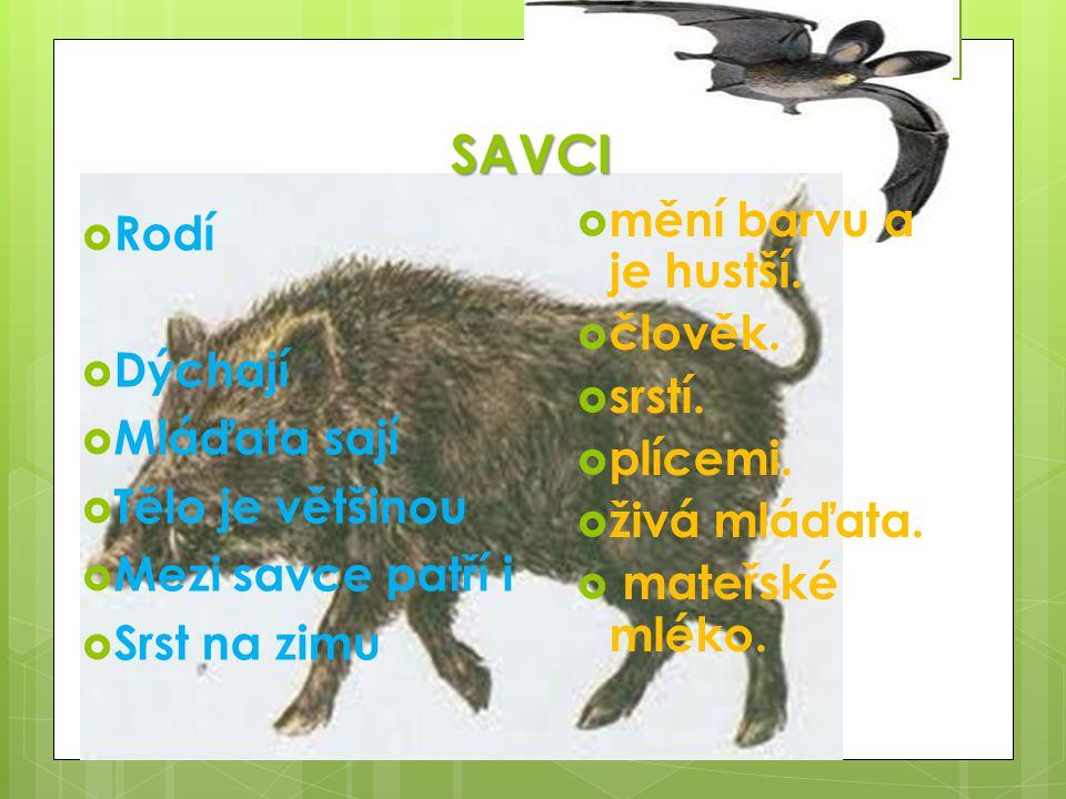 SAVCI  Rodí  Dýchají  Mláďata sají  Tělo je většinou  Mezi savce patří i  Srst na zimu  mění barvu a je hustší.  člověk.  srstí.  plícemi. 