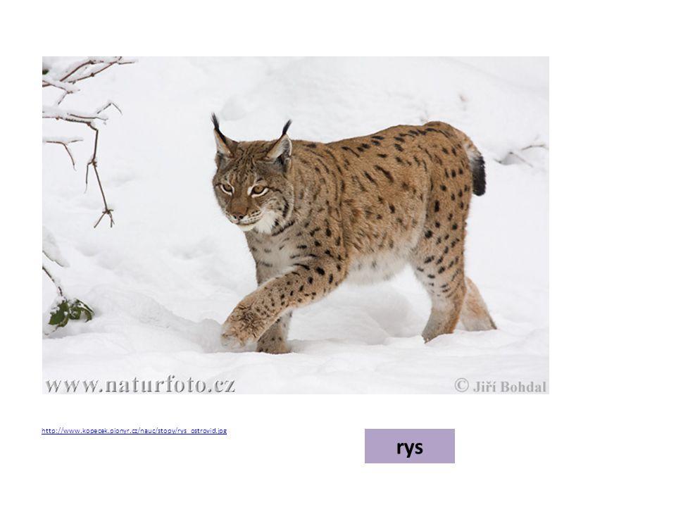rys http://www.kopecek.pionyr.cz/nauc/stopy/rys_ostrovid.jpg