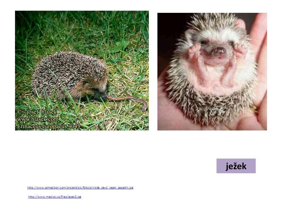 ježek http://www.zsmezibori.com/projekt/pic/foto/priroda_savci_jezek_zapadni.jpg http://www.mazlicci.cz/files/jezek3.jpg
