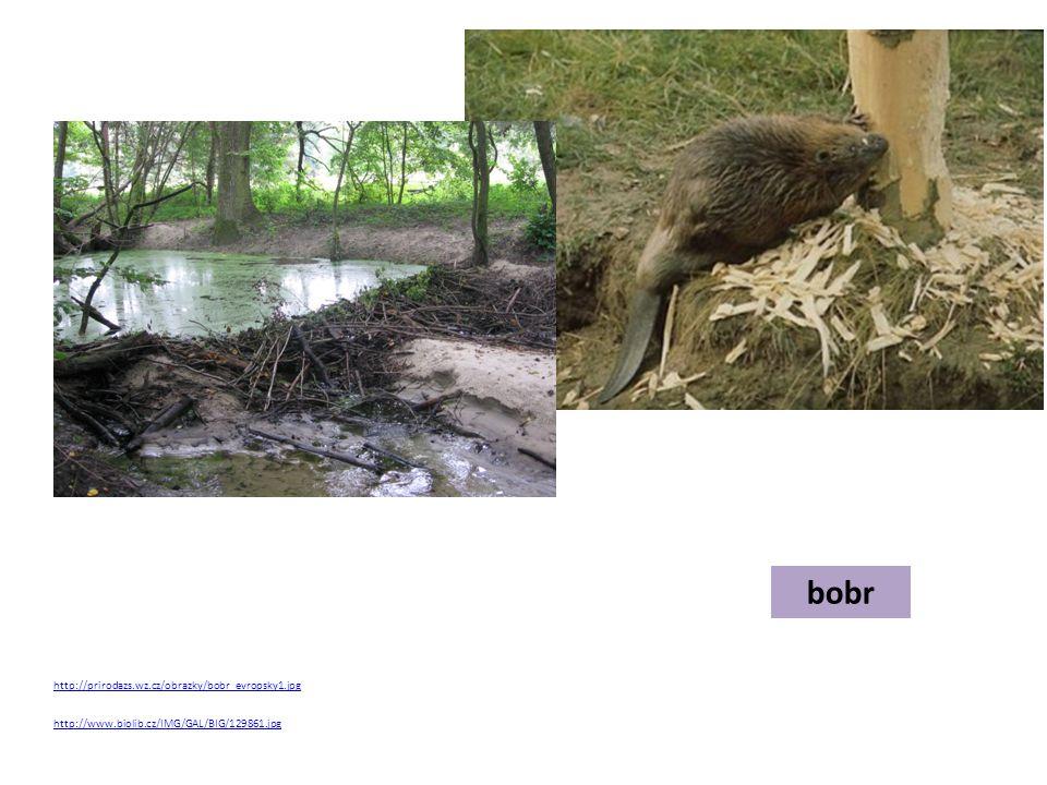 bobr http://prirodazs.wz.cz/obrazky/bobr_evropsky1.jpg http://www.biolib.cz/IMG/GAL/BIG/129861.jpg