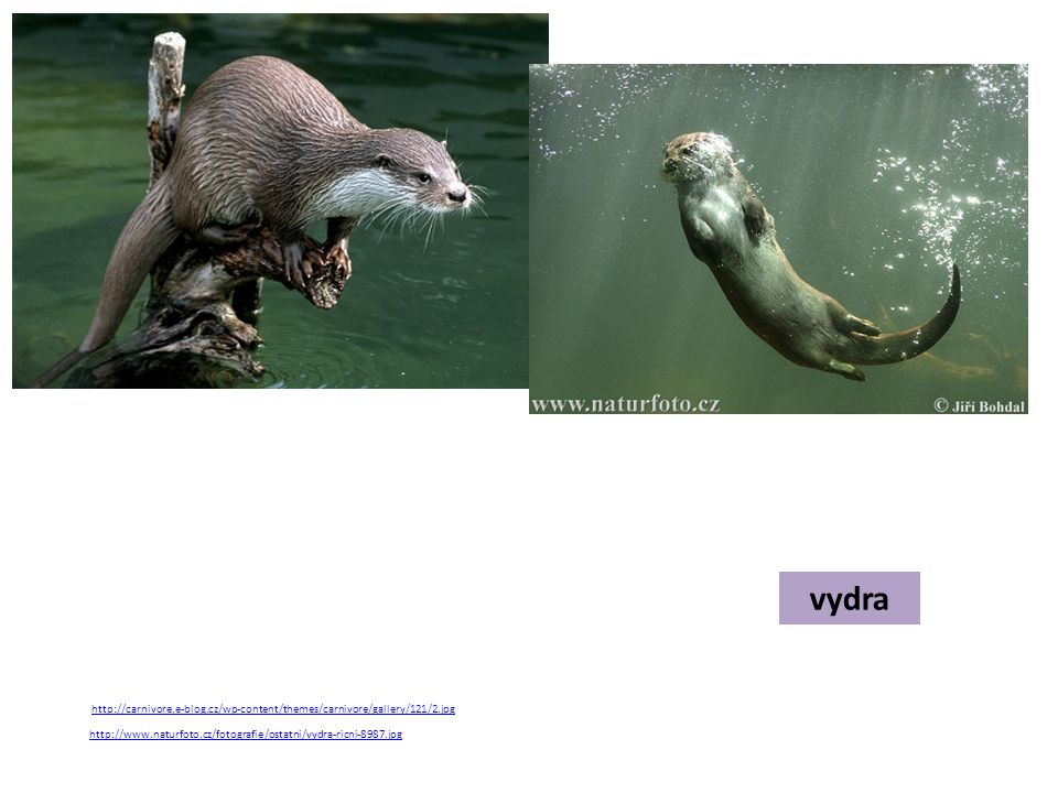 vydra http://www.naturfoto.cz/fotografie/ostatni/vydra-ricni-8987.jpg http://carnivore.e-blog.cz/wp-content/themes/carnivore/gallery/121/2.jpg