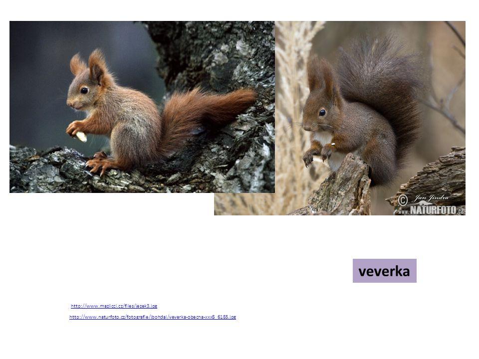 Řešení zajíc liška hraboš jelen jezevec lasice ježek vydra Dělá si před zimou zásoby potravy.