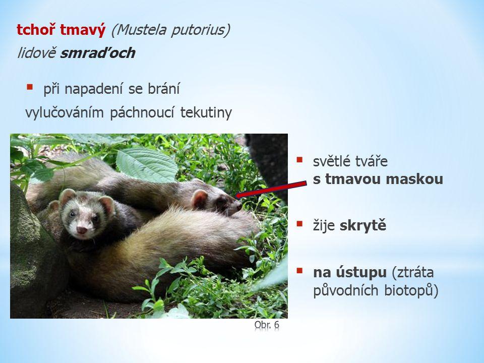tchoř tmavý (Mustela putorius) lidově smraďoch  světlé tváře s tmavou maskou  žije skrytě  na ústupu (ztráta původních biotopů)  při napadení se b