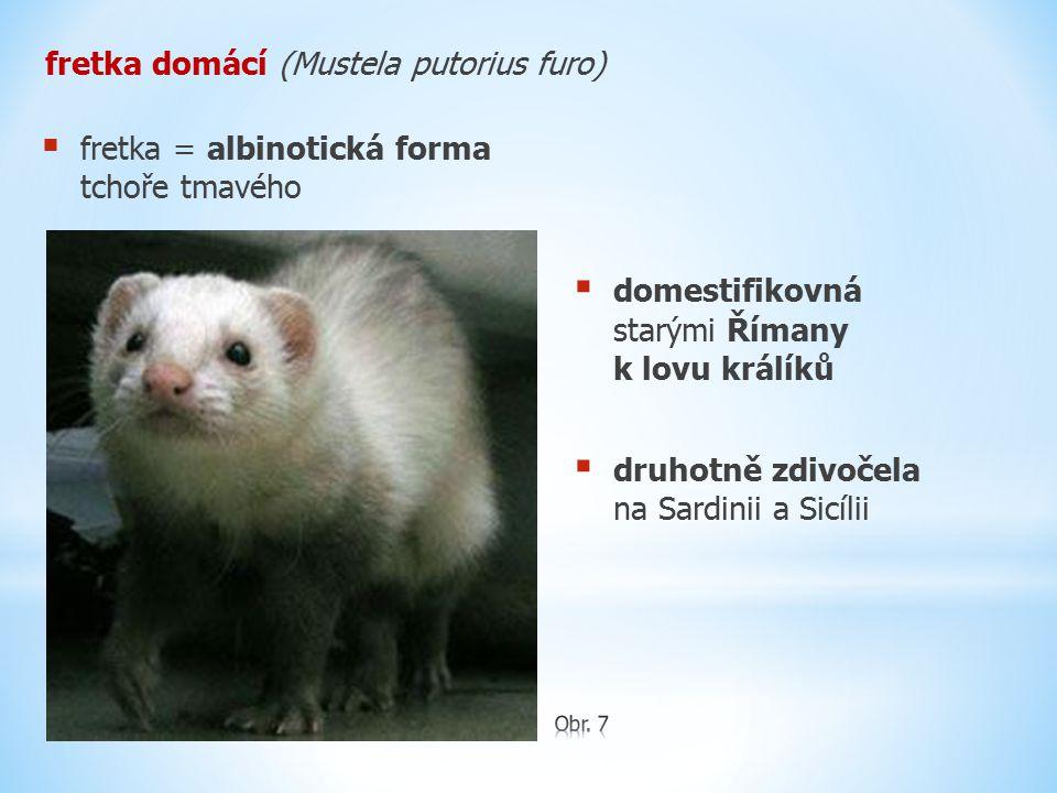 fretka domácí (Mustela putorius furo)  domestifikovná starými Římany k lovu králíků  druhotně zdivočela na Sardinii a Sicílii  fretka = albinotická