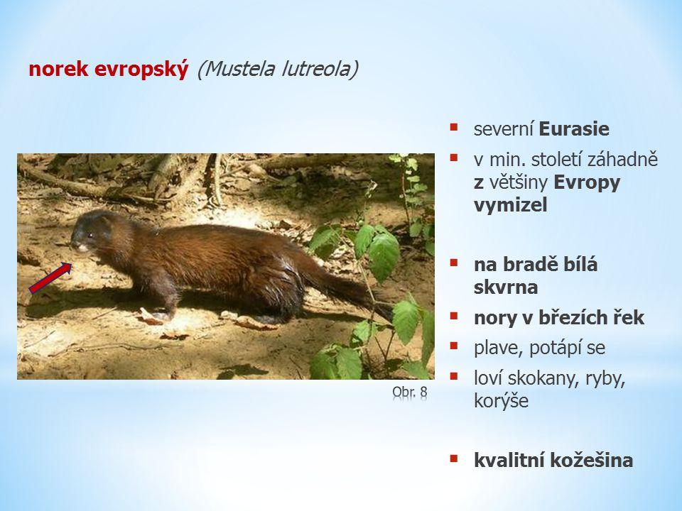 norek evropský (Mustela lutreola)  severní Eurasie  v min. století záhadně z většiny Evropy vymizel  na bradě bílá skvrna  nory v březích řek  pl