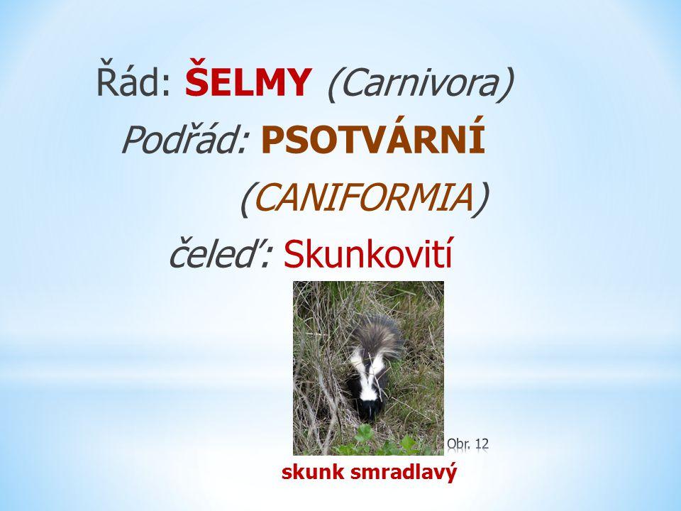 Řád: ŠELMY (Carnivora) Podřád: PSOTVÁRNÍ (CANIFORMIA) čeleď: Skunkovití skunk smradlavý