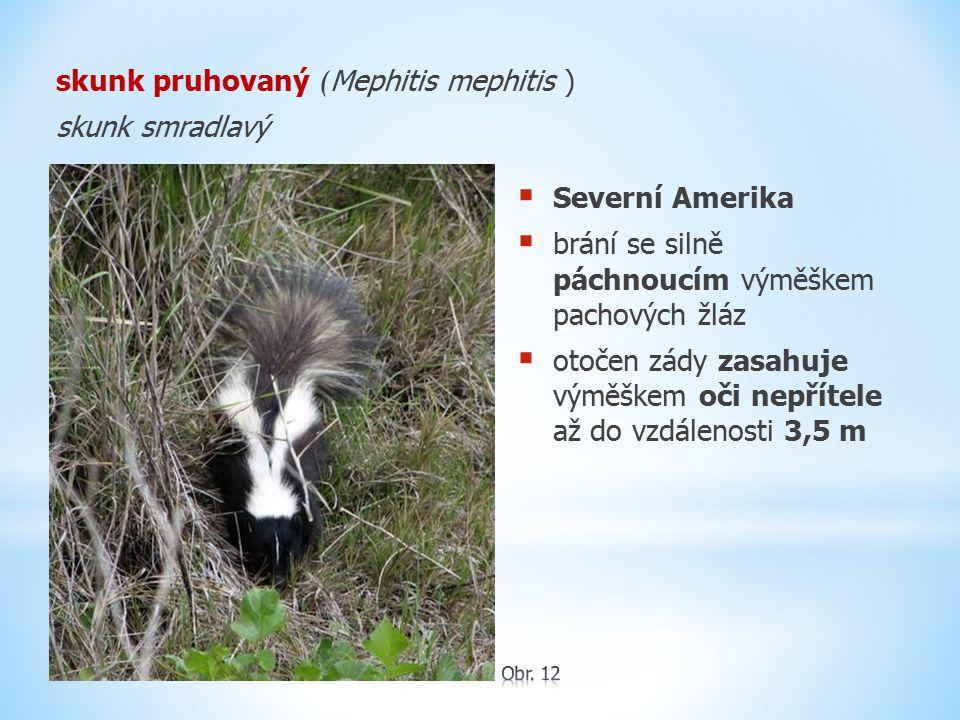 skunk pruhovaný ( Mephitis mephitis ) skunk smradlavý  Severní Amerika  brání se silně páchnoucím výměškem pachových žláz  otočen zády zasahuje vým
