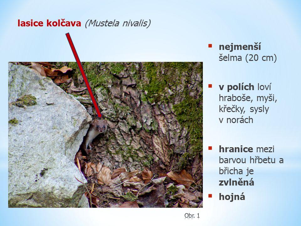 lasice kolčava (Mustela nivalis)  nejmenší šelma (20 cm)  v polích loví hraboše, myši, křečky, sysly v norách  hranice mezi barvou hřbetu a břicha