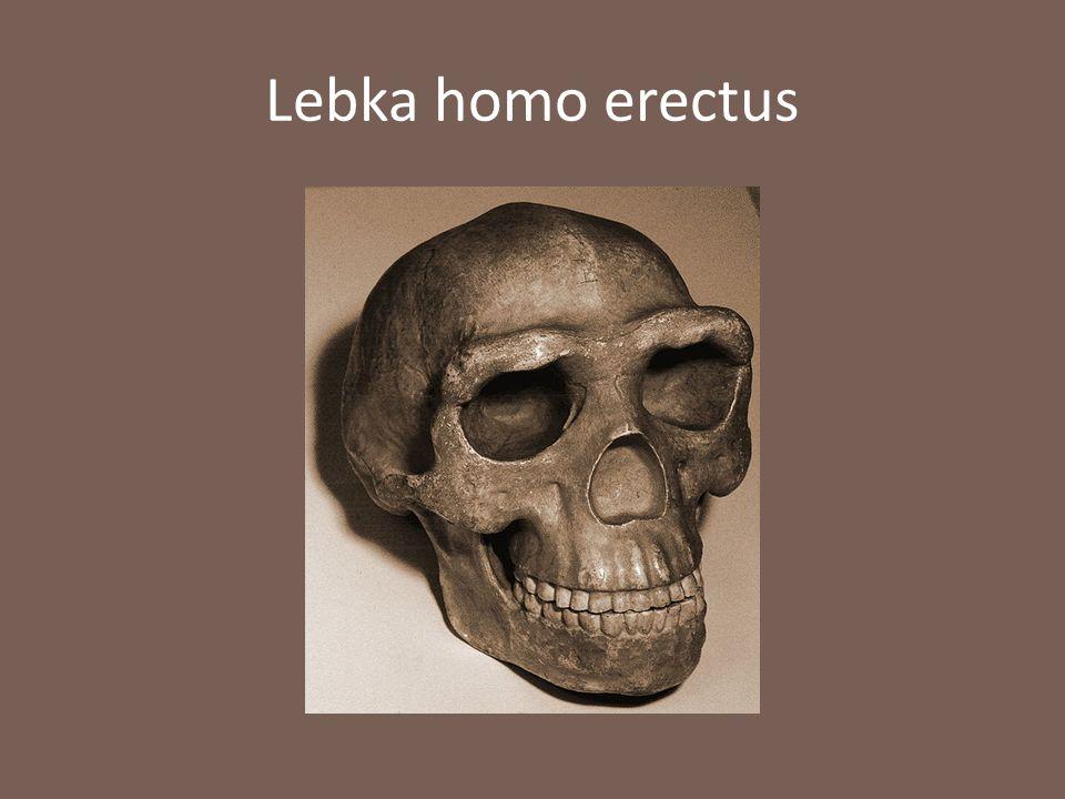 Lebka homo erectus
