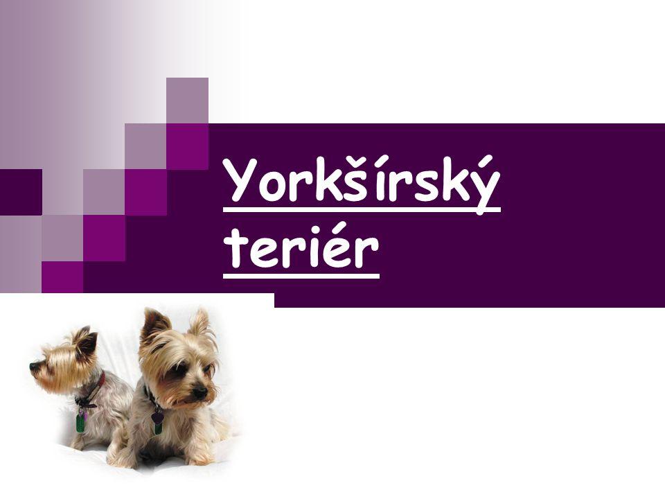 Yorkšírský teriér
