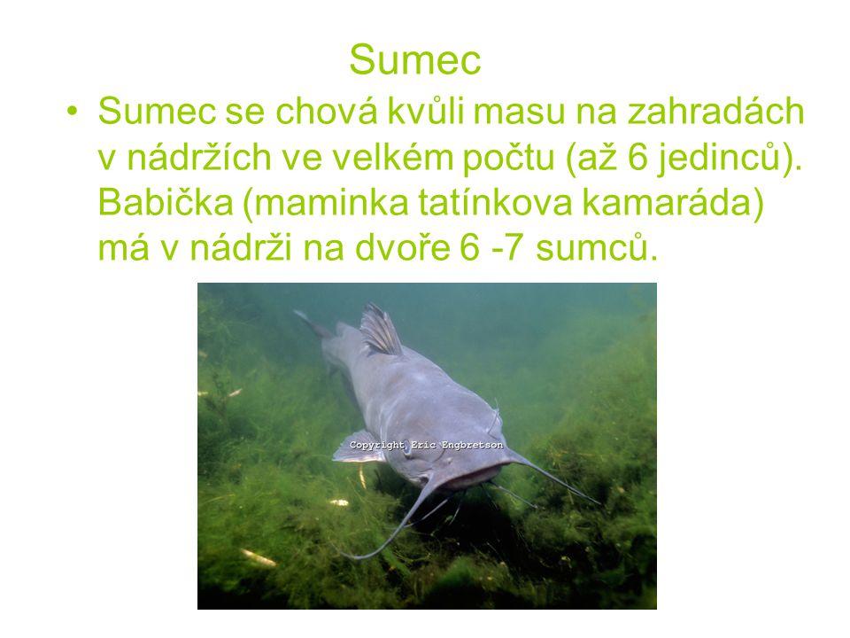 Sumec Sumec se chová kvůli masu na zahradách v nádržích ve velkém počtu (až 6 jedinců).