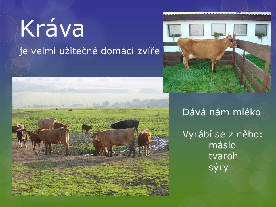 Kráva je velmi užitečné domácí zvíře Dává nám mléko Vyrábí se z něho: máslo tvaroh sýry